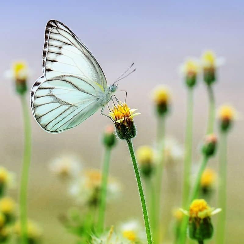 butterfly in a field